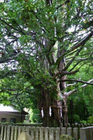 熊野大社 梛の木